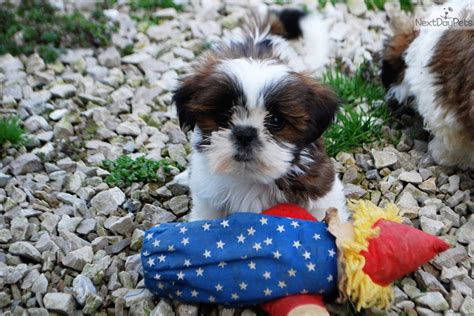 shih tzu for sale in mo teeny clark akc chion b l black white shih tzu for sale in