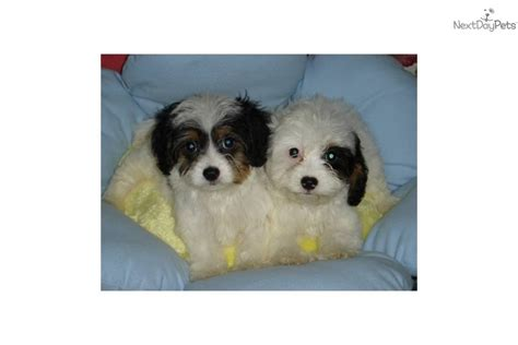 empire puppies cavapoo puppy for sale near new york city new york 399e2b32 96a1