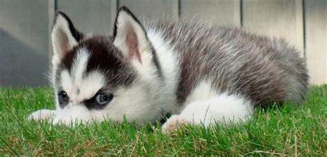 alimentazione siberian husky siberian husky carattere alimentazione e cuccioli
