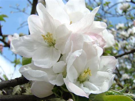 fiori melo melo da fiore piante da giardino pianta fiore