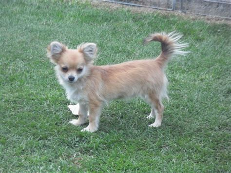 chihuahua for sale for sale chihuahua longcoat puppy doncaster south pets4homes