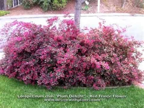 flowering shrub crossword loropetalum chinesis plum delight fringe