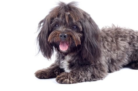 havanese problems havanese breed health