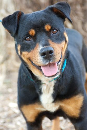 pitweiler puppies for sale mini rottweiler breeds picture
