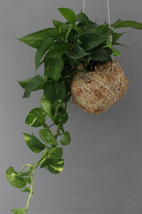 indoor hanging plants mister moss indoor hanging plant ivy for the home