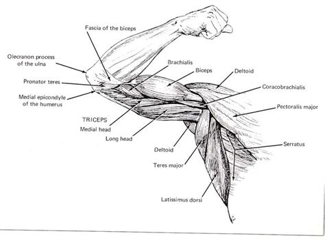 anatomy coloring pages muscles best 25 muscles of the arm ideas on arm