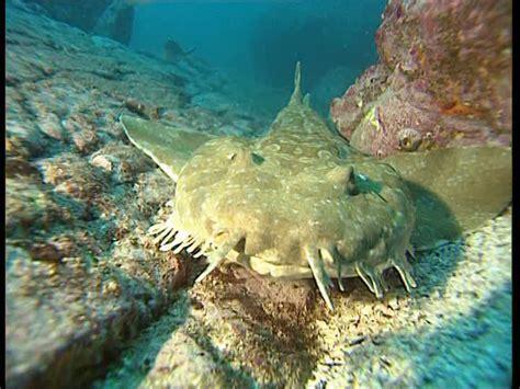 squalo tappeto squalo tappeto marmoreggiato australia sd stock