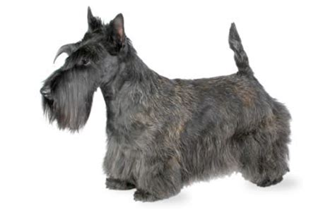 How To Give A Scottish Terrier A Hair Cut | urinary bladder cancer in dogs