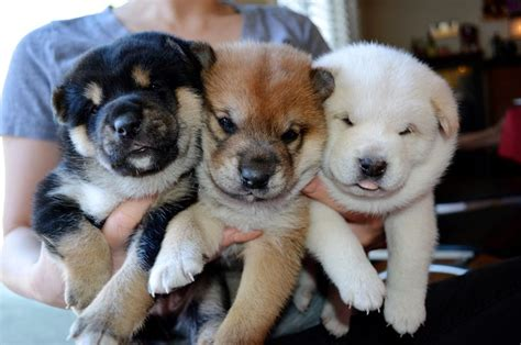 black shiba inu puppies black and white shiba inu puppies woof