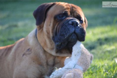 bullmastiff puppies for sale near me bullmastiff for sale for 1 500 near cookeville tennessee cd78bb86 ce81