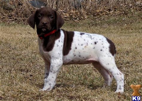 german shorthair puppies for sale in wisconsin document moved
