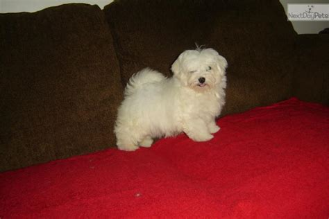 puppies louisville ky dogs and puppies for sale and adoption oodle marketplace