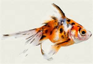Calico Fantail Fancy Goldfish   Tropicali