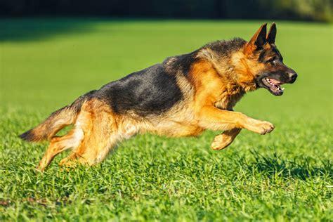 Le Berger coloriage chien berger allemand 224 imprimer