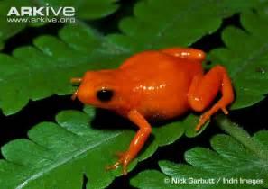 Golden Frog Golden Frog Photo Mantella Aurantiaca G57550 Arkive