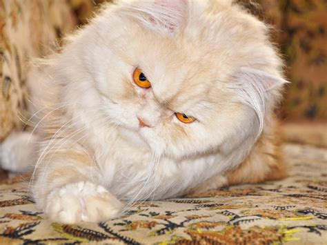 wallpaper persian cat persian cat with red eyes wallpapers and images