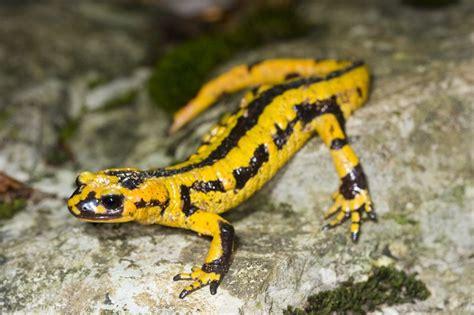 la salamandra fauna en 8498254493 animales vertebrados peces anfibios reptiles aves y