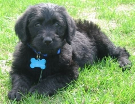 cost of labradoodle puppy labradoodle puppy 17 comments
