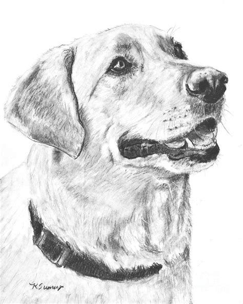 Lab Drawing yellow lab drawing