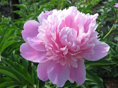 significato dei fiori rosa significato fiori rosa linguaggio dei fiori fiori rosa