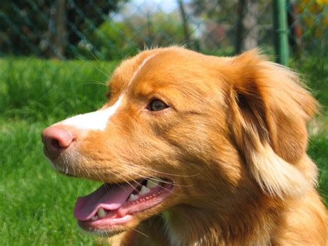 labrador or golden retriever best family dogs scotia duck tolling retriever
