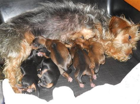 yorkie and dachshund mix puppies dorkie dachshund yorkie mix info temperament puppies pictures