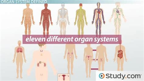 Model Resume Examples by What Is An Organ System Definition Amp Pictures Video