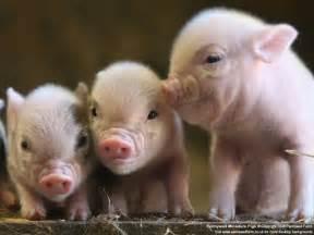 pig longer cute animal source food science certainty