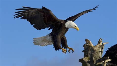   Eagle   Eagle Hd Wallpapers   Eagle Pictures   Eagle ...