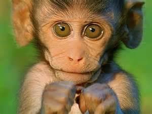 monkey wallpaper monkey wallpapers first hd wallpapers