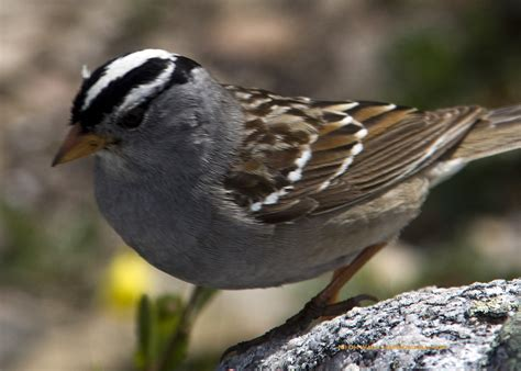 a white crowned sparrow in jasper national park 171 jasper