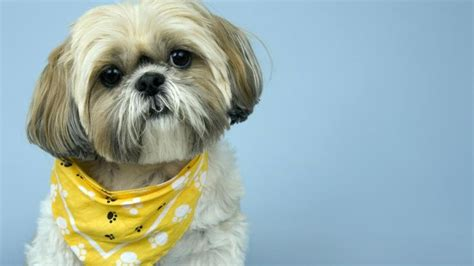 shih tzu grooming style what are some shih tzu grooming styles reference