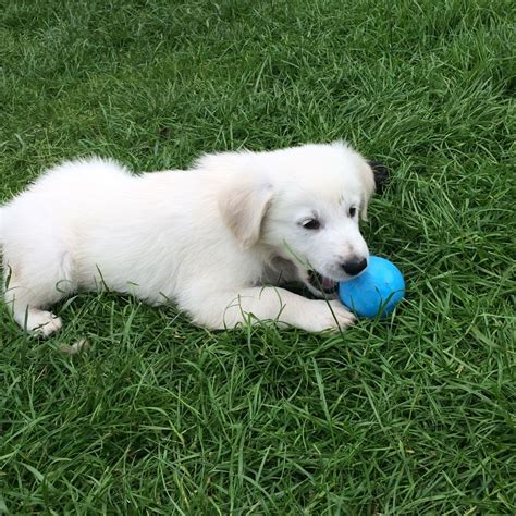 golden retriever breeder pennsylvania golden retriever puppies for sale johnstown pa 201263 petzlover