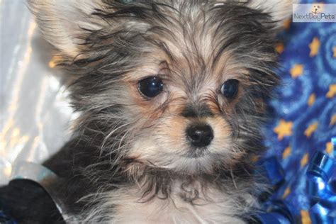 teacup yorkie puppies for sale in kansas piper the micro teacup morkie morkie yorktese puppy for sale near southeast ks