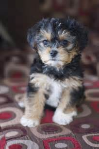 yorkie puppies hypoallergenic yorkie poo chris and i want one of these for our next but probably won t be for