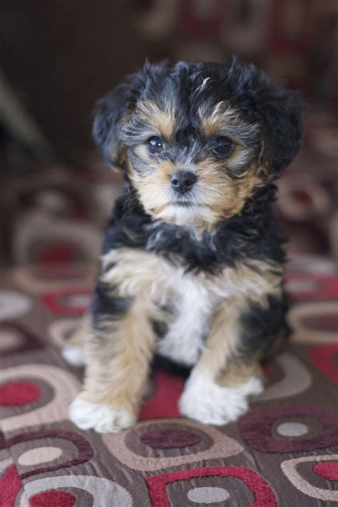 are yorkie poos hypoallergenic best 25 yorkie poo puppies ideas on yorki poo yorkie poodle and yorkie