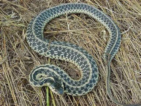 Garter Snake Ky Snake In Kentucky