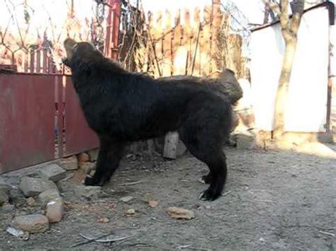 romanian raven shepherd dog  months ciobanesc corb youtube