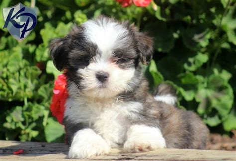 malshi puppies for sale in pa buster mal shi puppies for sale in pa keystone puppies mal shi puppies
