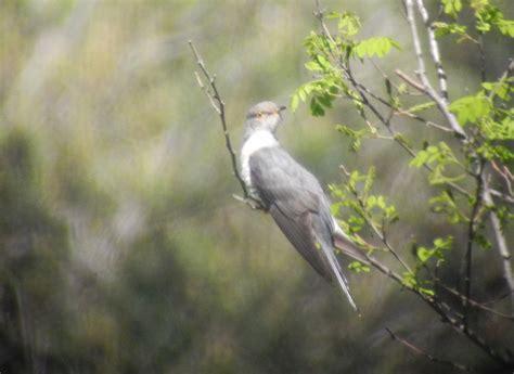 barking song barking cuckoo birds korea