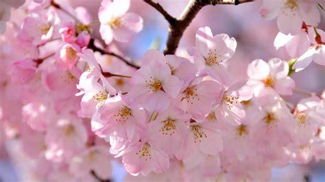 cherry blossom festival cherry blossom festival japan for kids my web value