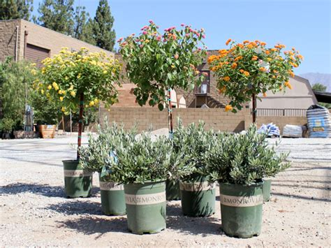 water wise plants of the week quot ollie quot shrub