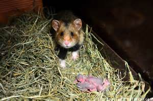 Wild hamster photo gallery by eric baccega discover wildlife