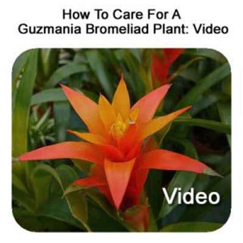 how to care for a guzmania bromeliad plant video