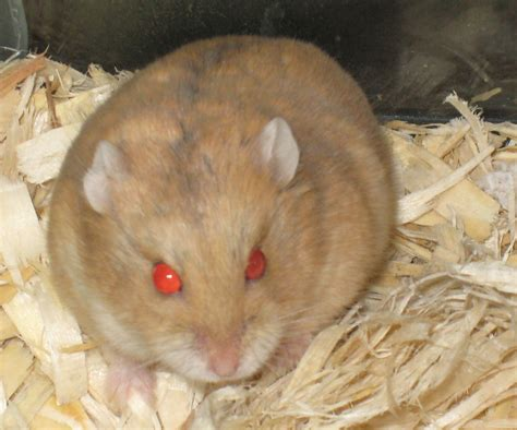 hamster with hamsters looking for new homes