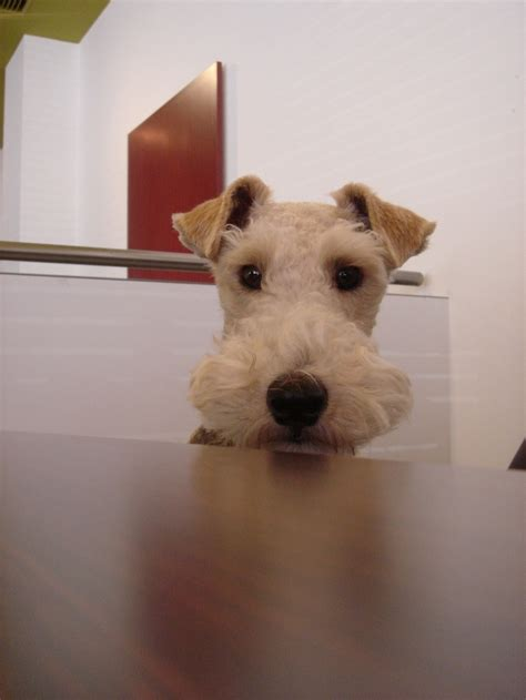 cheap haircuts lakeland fl 3838 best wire fox terrier images on pinterest wire fox