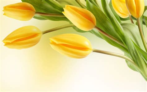 wallpaper bunga tulip hd tulip flower wallpapers wallpaper cave