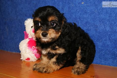 havapoo puppies for sale havapoo puppies www imgkid the image kid has it