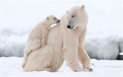 polar bear cub tired climbing     mother