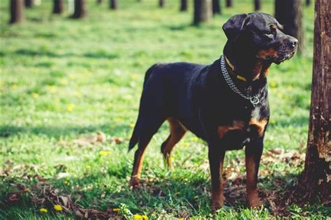 are rottweilers aggressive by nature top 10 endearing breeds you can t resist bringing home